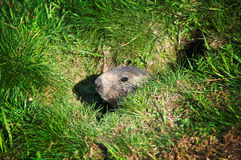 Ground hog in its burrow. A ground hog head coming out of its burrow Stock Image