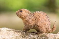 Ground hog marmot animal close up portrait oudoors against green blurry background royalty free stock image