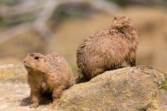 Ground hog marmot animals close up portrait oudoors.  royalty free stock image