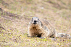 Ground hog marmot day portrait Stock Photos