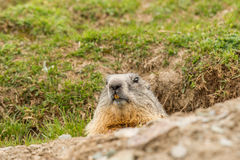 Ground hog marmot day portrait Royalty Free Stock Image