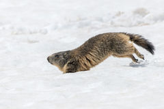 Ground hog marmot day portrait running on snow Stock Images