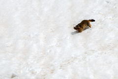 Ground hog marmot day portrait running on snow Royalty Free Stock Images