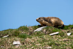 Ground hog marmot portrait while looking at you Stock Photos