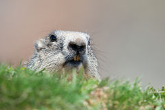 Ground hog marmot portrait while looking at you Royalty Free Stock Photography