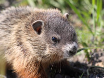 Ground hog in nature Royalty Free Stock Photo