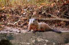 Ground hog. Sitting on concrete retaining wall close up royalty free stock photo
