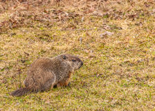 Ground Hog Stock Images