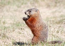 Ground hog standing Stock Photos