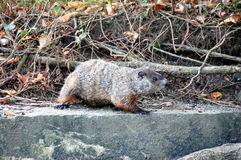Ground hog sunning. Ground hog sitting on concrete retaining wall close up stock photos