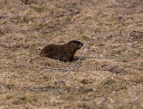 Ground Hog or Wood Chuck Stock Photo