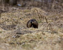 Ground Hog or Wood Chuck Royalty Free Stock Image