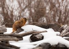 Ground hog with winter wind ruffling his fur. A ground hog or yellow bellied marmot looks for his shadow and doesn`t see it while the cold winter wind ruffles royalty free stock photos