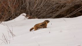 Ground hog walking in wind and snow. A ground hog or yellow bellied marmot makes his way uphill through the wind and snow stock image