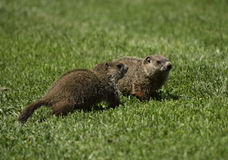 Ground hogs in a field. Two ground hogs stand together in the grass Royalty Free Stock Photography