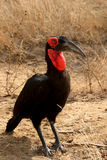 Ground Hornbill. In the Kruger National Park in South Africa Stock Images