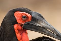 Ground Hornbill Royalty Free Stock Images