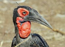 Ground Hornbill Royalty Free Stock Image