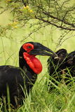 Ground Hornbill. Southern Ground Hornbill in the Kruger National Park Royalty Free Stock Photo