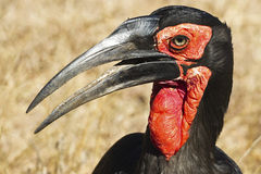 Ground Hornbill. African Ground Hornbill portrait shot Stock Photo