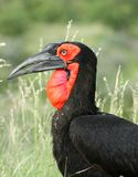 Ground Hornbill Stock Photography