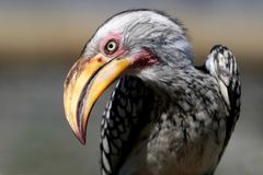 Ground Hornbill Bird Stock Photography