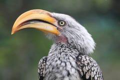 Ground Hornbill Bird Stock Photos
