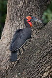 Ground hornbill bird Royalty Free Stock Photo