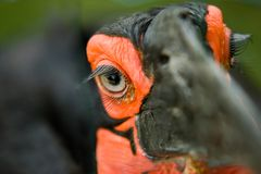 Ground Hornbill bird Royalty Free Stock Image