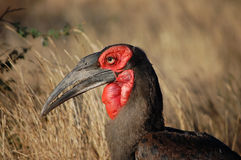 Ground Hornbill (Bucorvus leadbeateri) Stock Image