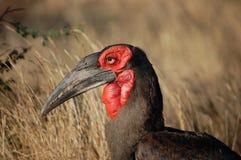 Ground Hornbill (Bucorvus leadbeateri) Stock Image