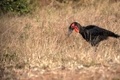 Ground Hornbill, Bucorvus leadbeateri, looking in the grass insects, Botswana Stock Images