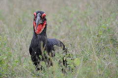 Ground hornbill (Bucorvus leadbeateri) Stock Images