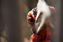 Ground Hornbill Royalty Free Stock Photo