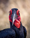 Ground hornbill closeup portrait. With detail black and white Royalty Free Stock Images