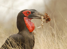 Ground Hornbill eating. Southern ground hornbill with dry leaves and a chameleon in his beak Stock Photography