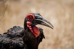 Ground Hornbill Stock Images