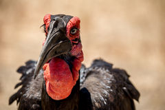 Ground Hornbill. An endangered ground hornbill of Southern Africa Stock Photography