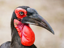 Ground Hornbill - mature. This Southern Ground Hornbill was photographed in the Kruger national Park in South Africa. It is mature as the throat and wattles are Stock Photos
