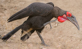 Ground Hornbill scratching Stock Image