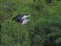 Ground Hornbill Stock Photos