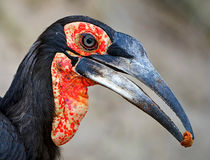Southern Ground Hornbill. This Ground Hornbill was photographed in the Kruger National Park South Africa. It is a immature as the throat and wattles are mottled Stock Images