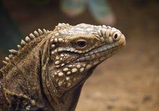 Ground iguana Royalty Free Stock Photo