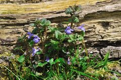 Ground ivy Royalty Free Stock Photo