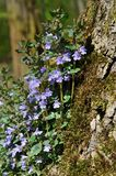 Ground ivy Stock Photos