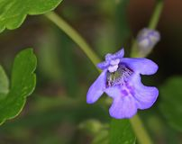 Ground Ivy Flower Close- up. Close- up view of a tiny Ground Ivy flower growing in a lawn in eastern Ohio royalty free stock image