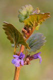 Ground-ivy (glechoma hederacea) Royalty Free Stock Photos