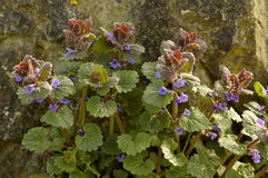 Ground Ivy Stock Images
