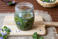 Ground-ivy leaves and flowers in a glass jar. A glass jar filled with booming ground-ivy and honey, to prepare homemade herbal syrup Stock Photo