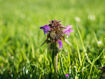 Ground ivy plant in nice lawn. Photo shows a flowering ground ivy plant in nice lawn Stock Photos